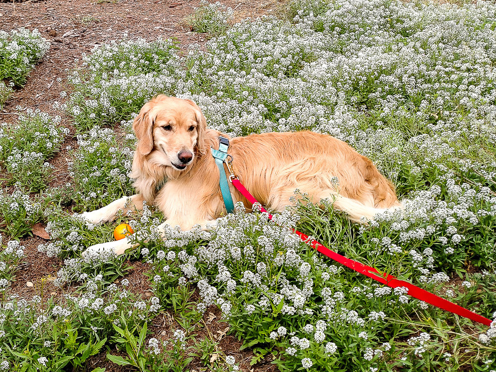 Cami, our energetic Golden Retriever, is the Supervisor
